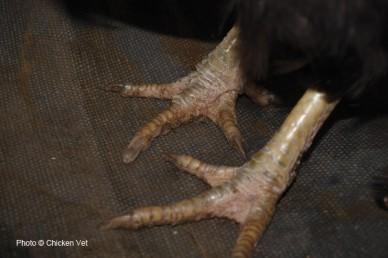 Chicken with scaly leg mite infestation