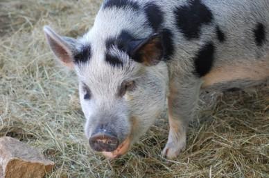 pig_feeding