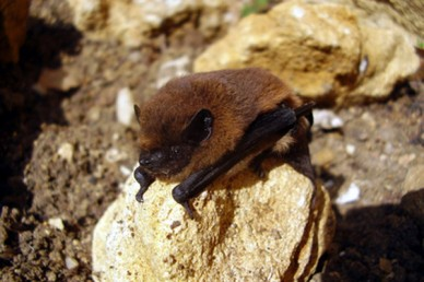 Pipistrelle bat on a rock