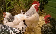 Sussex and Maran Pure Breed Chickens