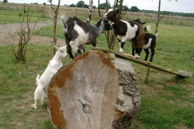 Pygmy goat kids playing