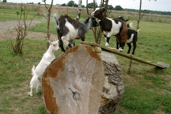 baby-goats-playing-web | Pocket Farm Magazine