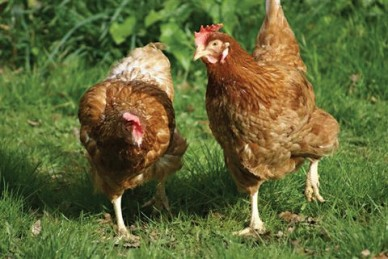 ex battery hens re-couped