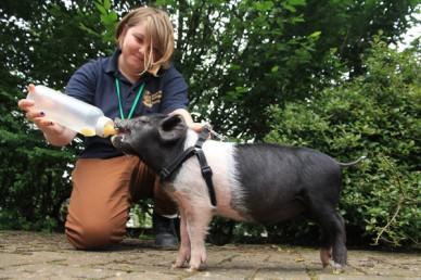 Feeding a piglet