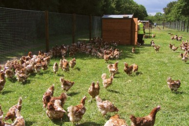 hens waiting to be re-homed