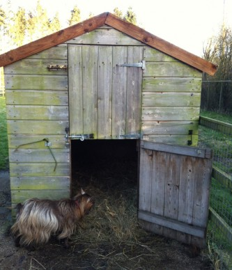 Goat shed for two goats