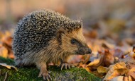 Careful of hedgehogs in leaf piles