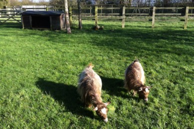 Pygmy goats in their paddock