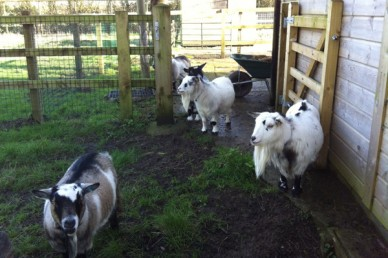 Female pygmy goats