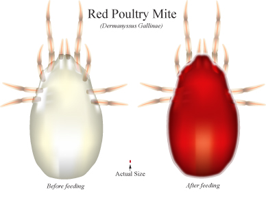 Red poultry mite