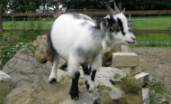 Pygmy goat play area