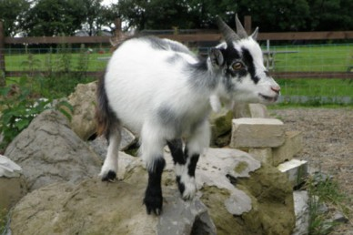 Pygmy goat play area