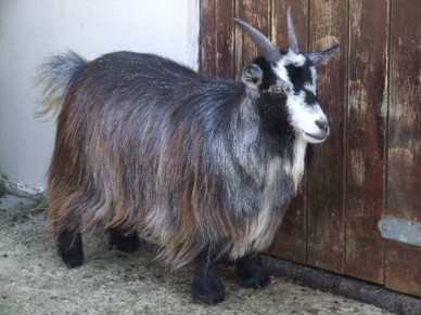pygmy-female-maesgwyn-herd