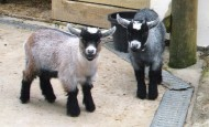 A pair of pygmy wethers