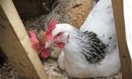 An egg bound hen
