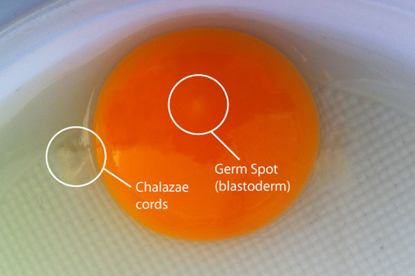 Yolk with germ spot and chalazae