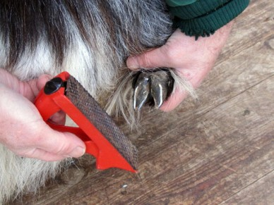 A rasp to tidy the hoof after trimming