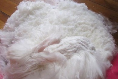 A shorn Angora rabbit