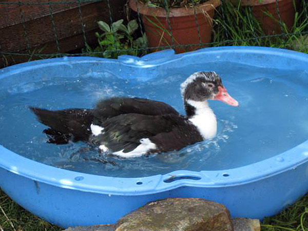 Ducks as an alternative to chickens for new keepers for Duck pond water