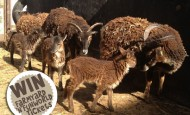 Soay lamb naming competition