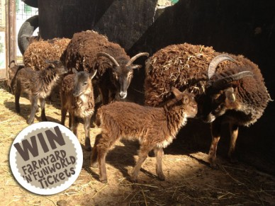 Soay lamb naming competition