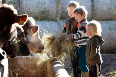 Children feeding cows