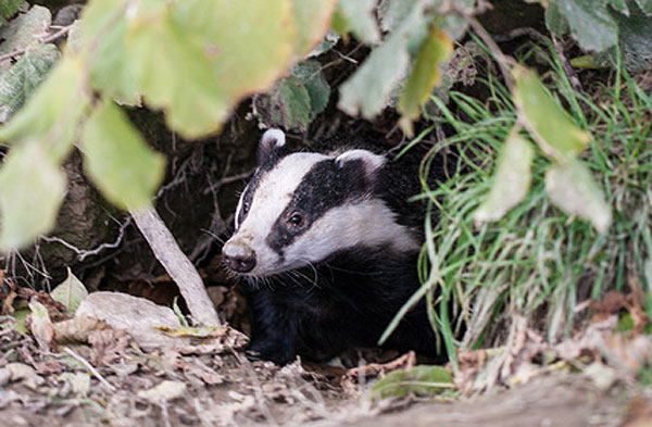 Badger emerging from set