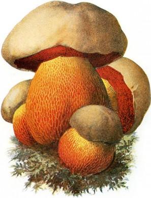 Devil's Bolete Mushroom