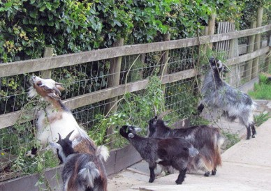 Goats browsing forage