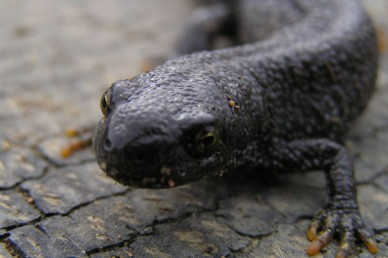 Great-Crested Newt