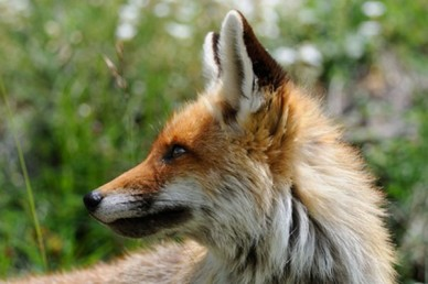 Red fox, the biggest threat to poultry