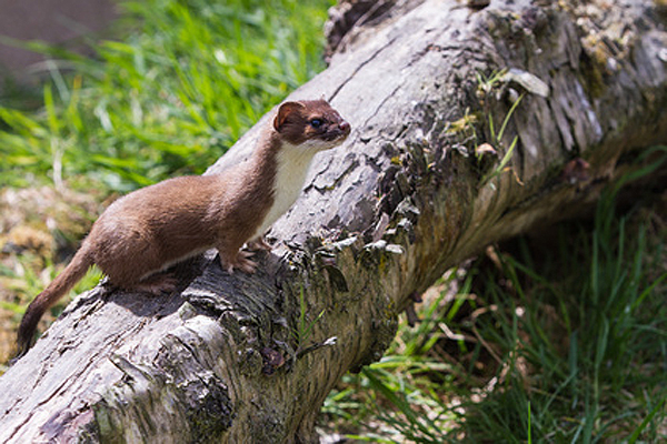 Stoat - small, agile predator
