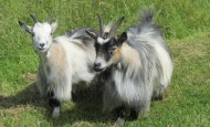 Healthy pair of pygmy goats