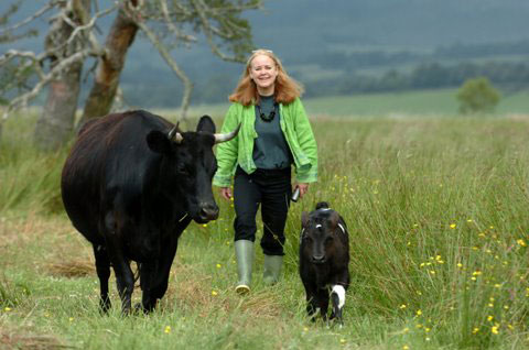 Walking with Shetland cattle