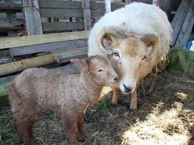 Portland ewe with lamb