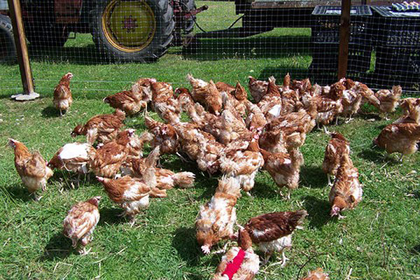 Ex-battery hens often display stress related feather loss