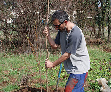 Staking a bare root tree