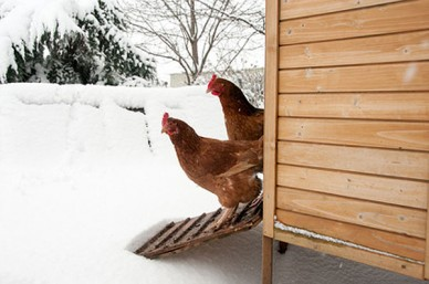 Chickens in the snow - frostbite and hypothermia