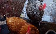 Chickens on a cold wet day