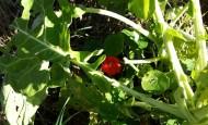 Nasturtiums under cabbage