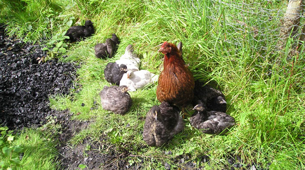 The Bulworthy chickens