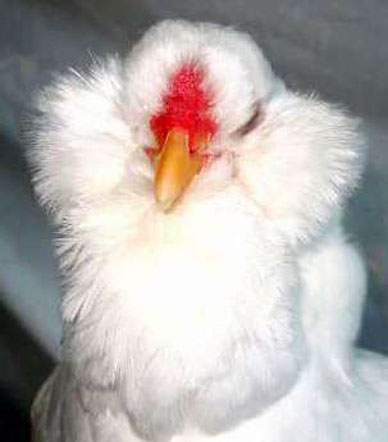Large white Orloff hen