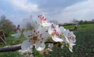Spring fruit tree blossom