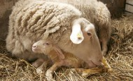 A ewe and her spring lamb