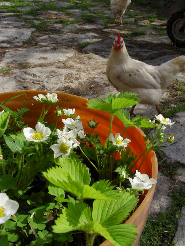 Strawberries and chickens
