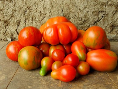 Different varieties fo tomatoes