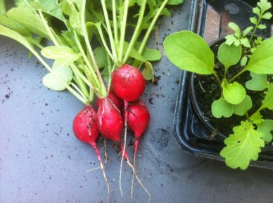 Scarlett Globe radish with salad leaves
