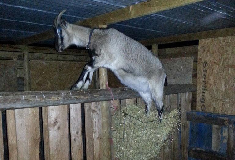 Nanny goat climbing