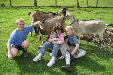 English goats with family