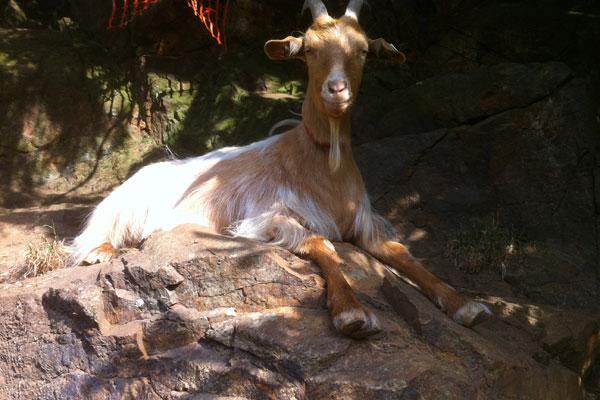 Guernsey nanny goat resting